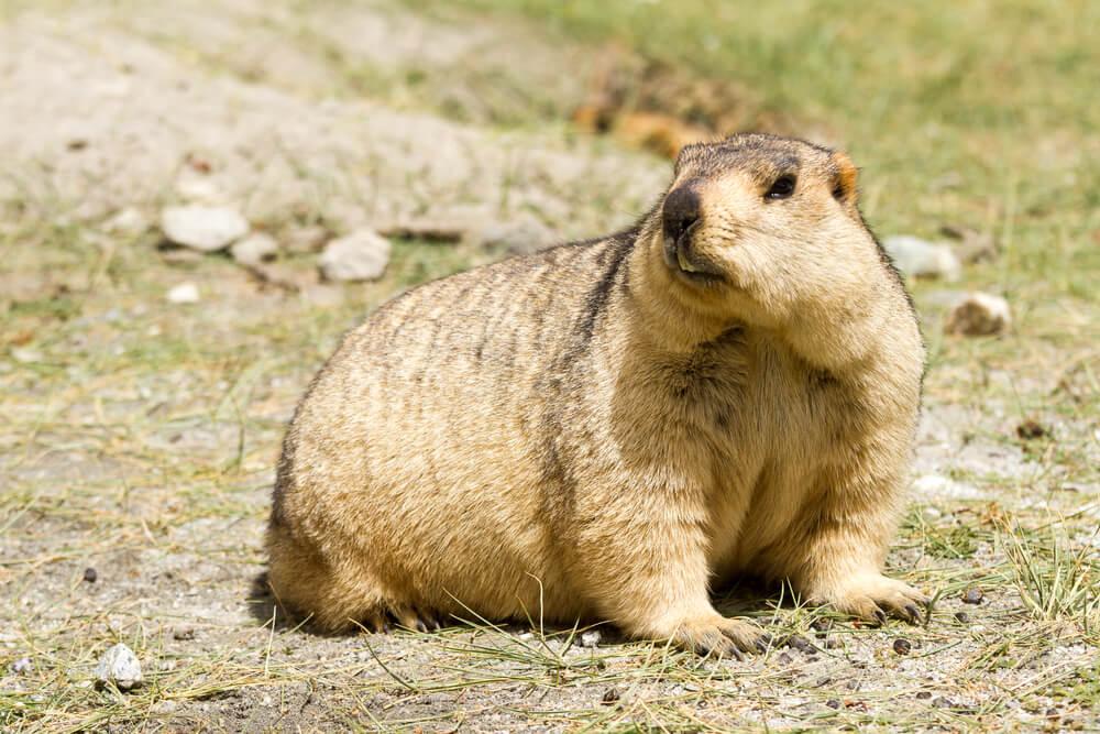 Tradição no Canadá: Dia da Marmota
